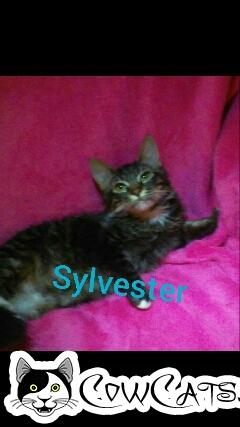 Adopt a Cat - Sylvester from San Tan Valley Arizona
