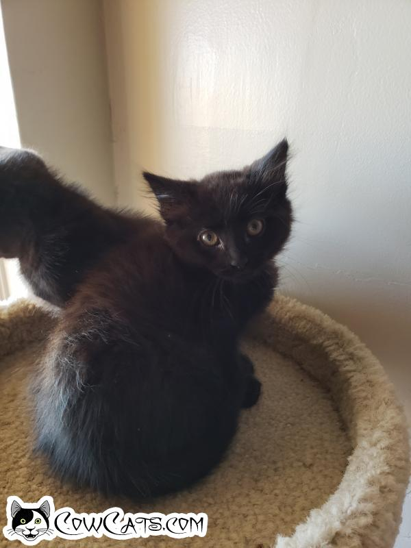 Adopt a Cat - Brownie from Mesa Arizona