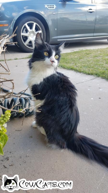 Adopt a Cat - Sophie from Phoenix Arizona