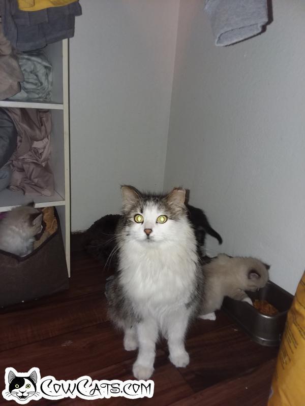 Adopt a Cat - Beauty from Glendale Arizona