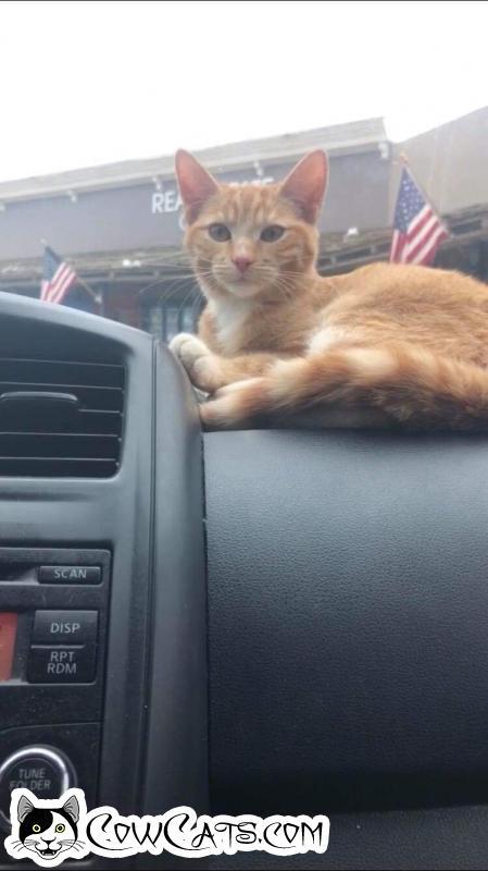 Adopt a Cat - Bonnie from Phoenix Arizona