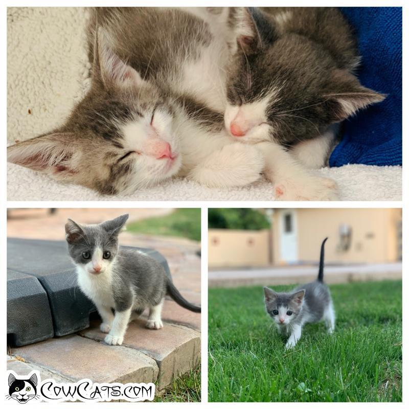Adopt a Cat - Alvin from Phoenix Arizona