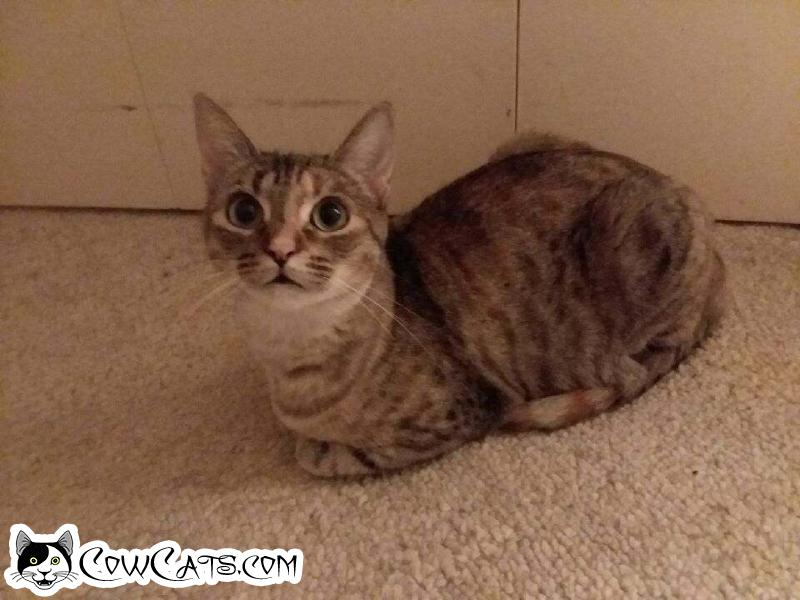Adopt a Cat - Hope from Scottsdale Arizona