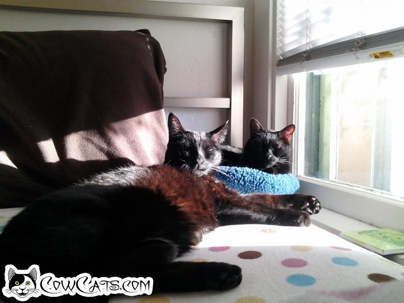 Adopt a Cat - Shab And Rooz from Scottsdale Arizona