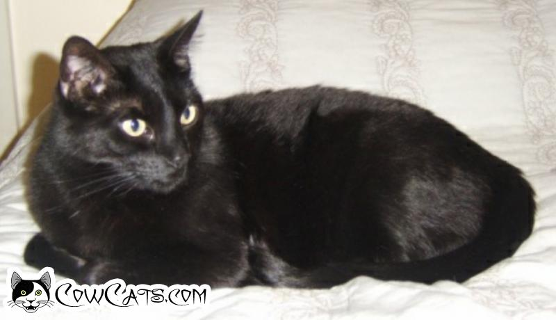 Adopt a Cat - Smitty from Scottsdale Arizona