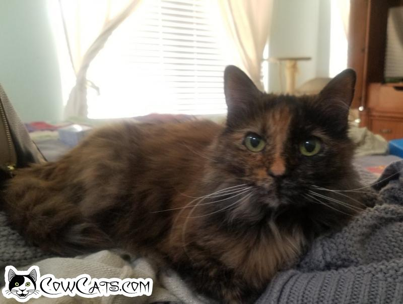 Adopt a Cat - Isis from Phoenix Arizona
