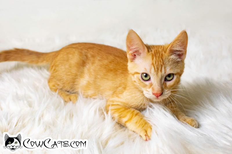 Adopt a Cat - Bill Purr from Tempe Arizona