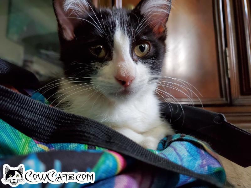 Adopt a Cat - Missi from Phoenix Arizona