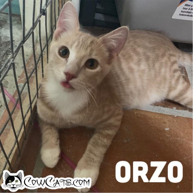 Adopt a Cat - Orzo from Scottsdale Arizona