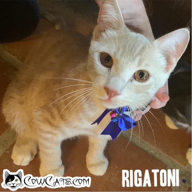 Adopt a Cat - Rigatino from Scottsdale Arizona