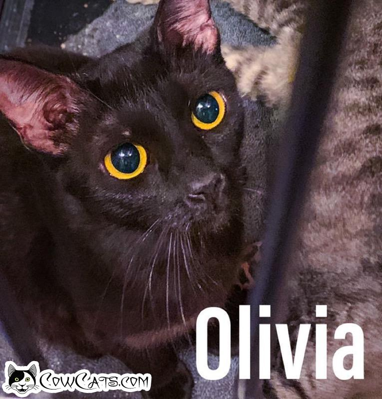 Adopt a Cat - Olivia from Scottsdale Arizona