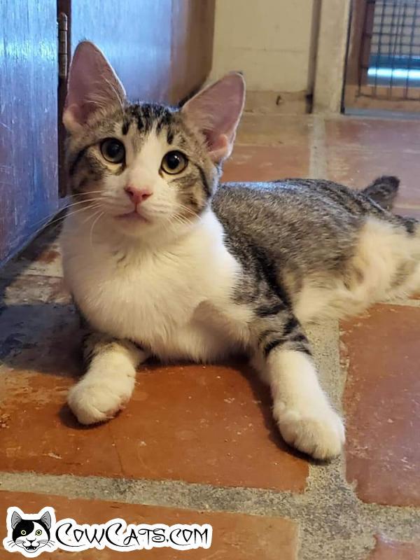 Adopt a Cat - Rhett from Scottsdale Arizona