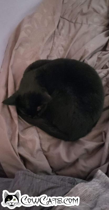 Adopt a Cat - Momma from Easton Washington