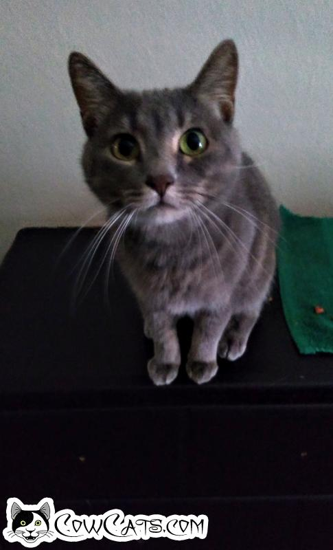 Adopt a Cat - Nala from Phoenix Arizona