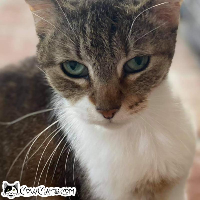 Adopt a Cat - Marley from Scottsdale Arizona