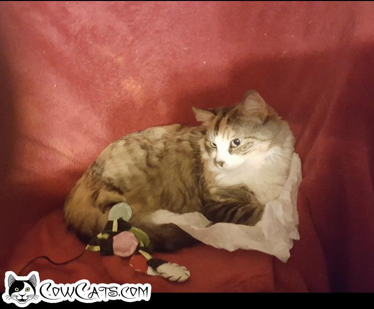 Adopt a Cat - Shiloh from Peoria Arizona