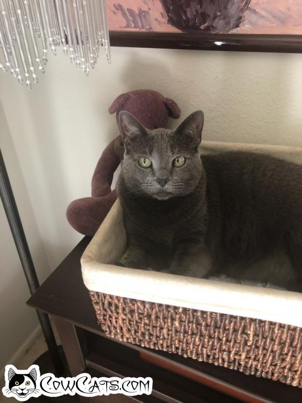 Adopt a Cat - Smokie from Phoenix Arizona