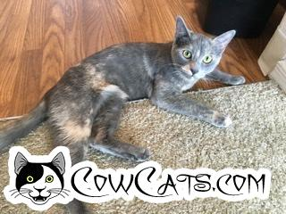 Adopt a Cat - Frost from Glendale Arizona