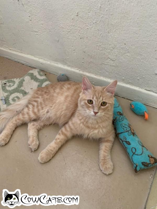 Adopt a Cat - Buttercup from Scottsdale Arizona