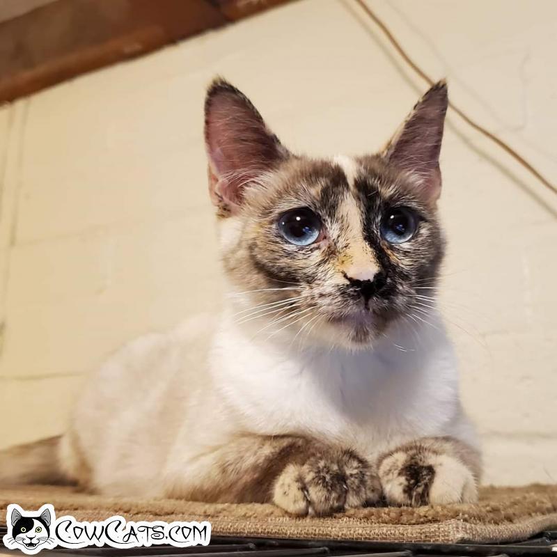Adopt a Cat - Iris from Scottsdale Arizona