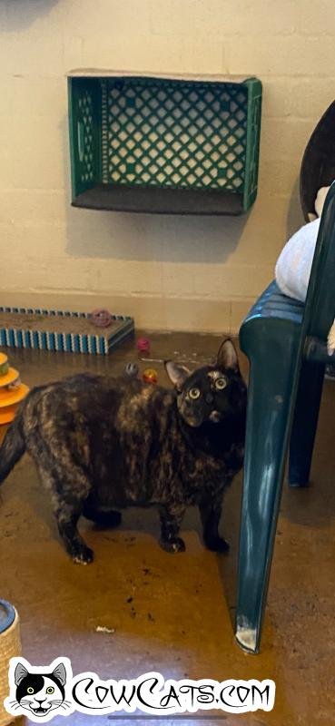 Adopt a Cat - Cher from Scottsdale Arizona