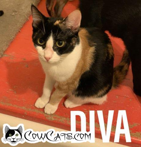 Adopt a Cat - Diva from Scottsdale Arizona