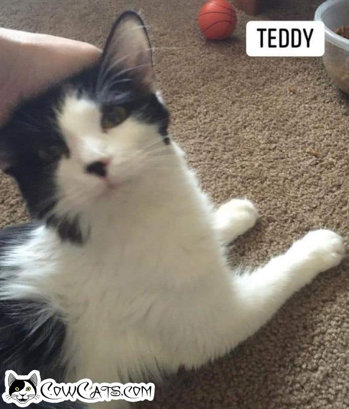 Adopt a Cat - Teddy from Scottsdale Arizona