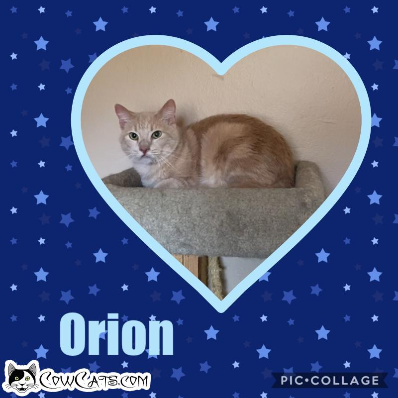 Adopt a Cat - Orion from Scottsdale Arizona