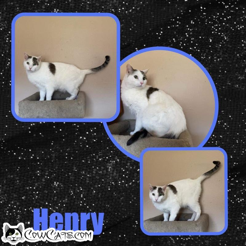 Adopt a Cat - Henry from Scottsdale Arizona