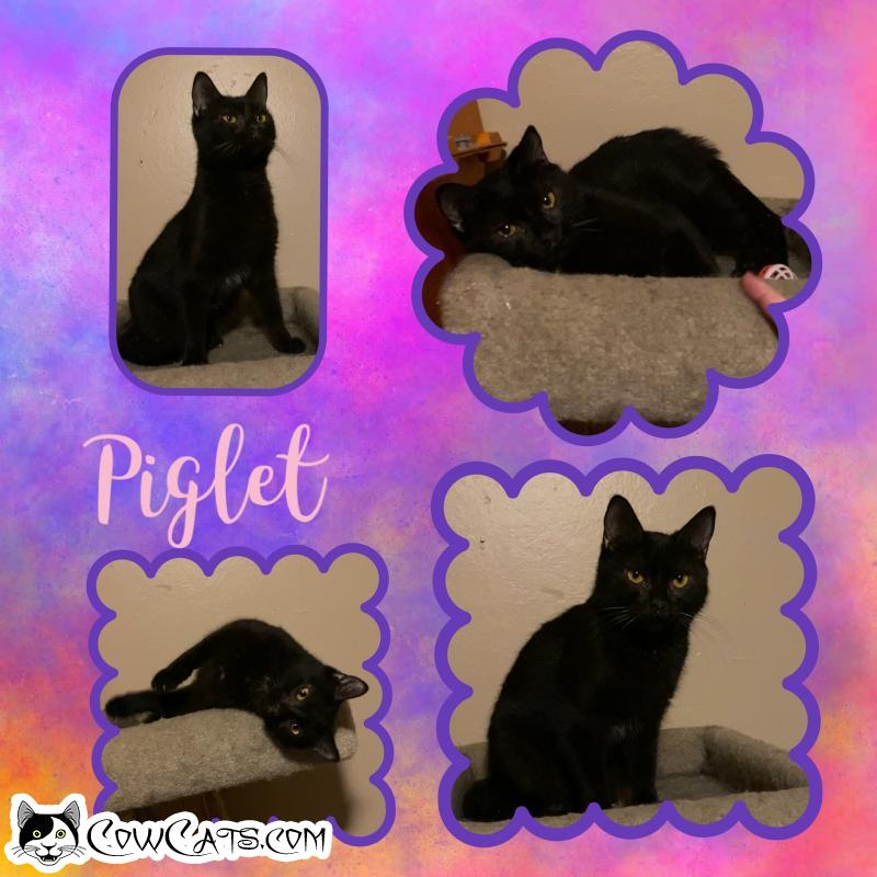 Adopt a Cat - Piglet from Scottsdale Arizona