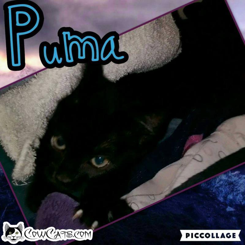 Adopt a Cat - Puma from Scottsdale Arizona