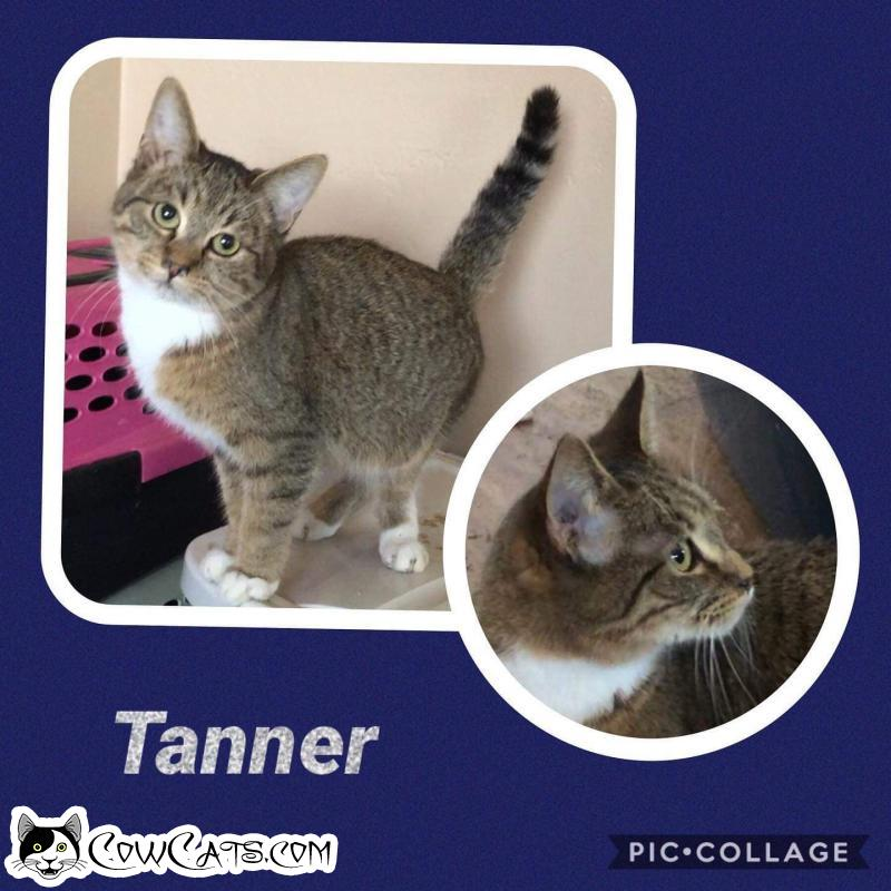 Adopt a Cat - Tanner from Scottsdale Arizona