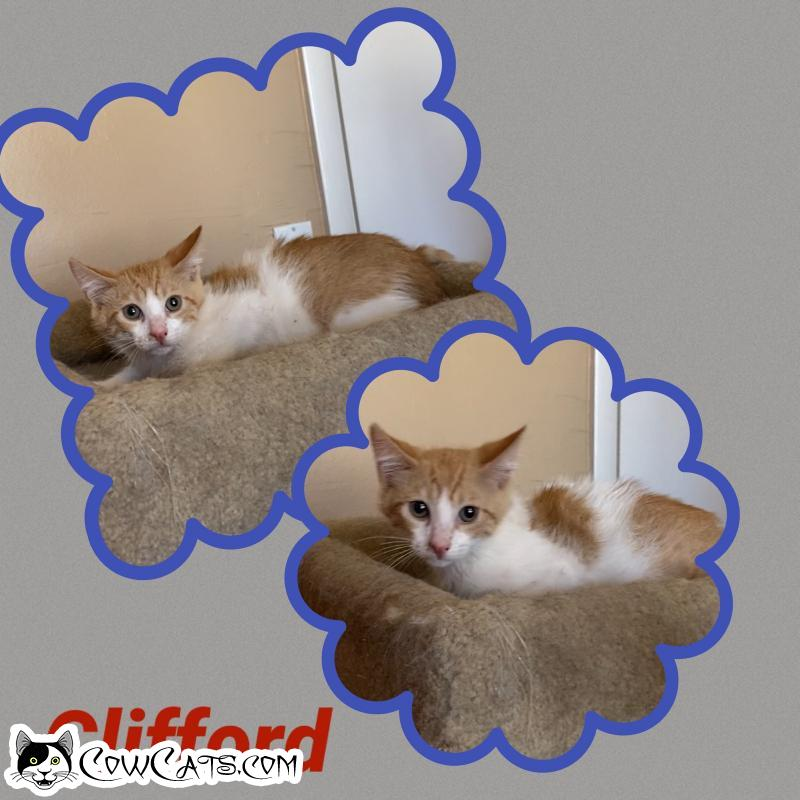 Adopt a Cat - Clifford from Scottsdale Arizona