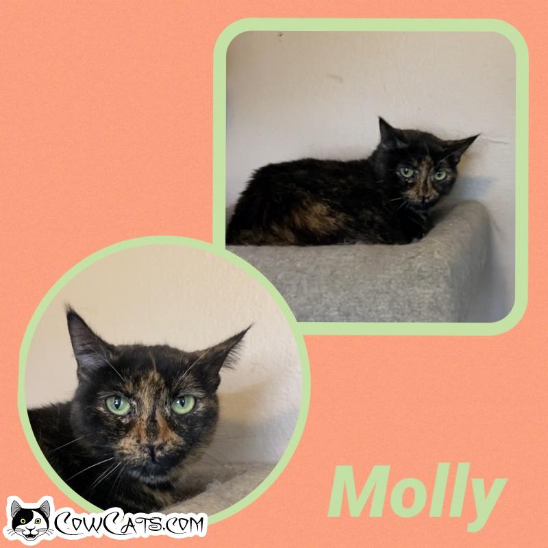 Adopt a Cat - Molly from Scottsdale Arizona