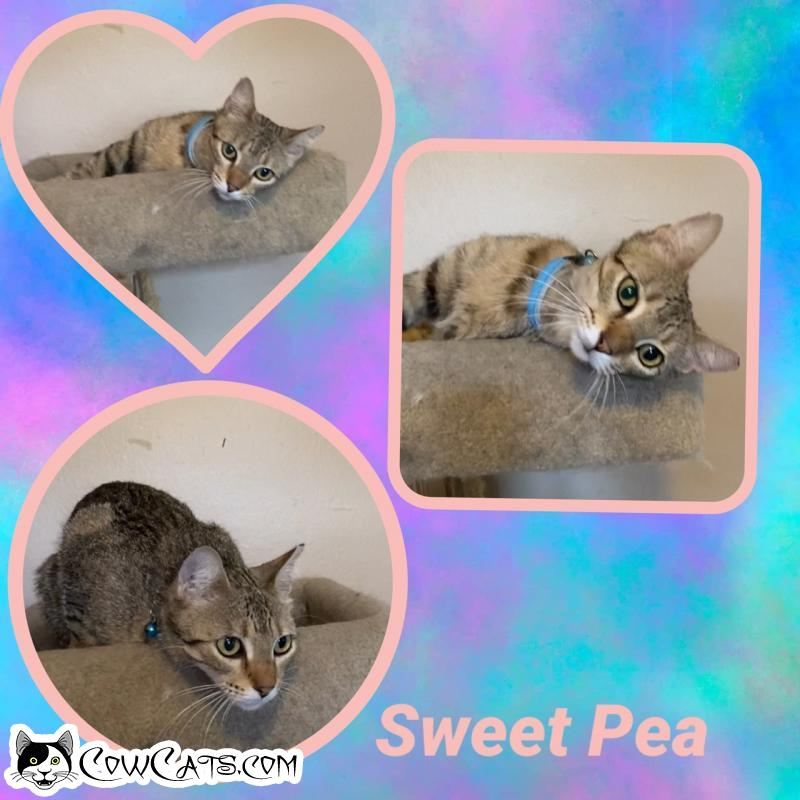 Adopt a Cat - Sweet Pea from Scottsdale Arizona