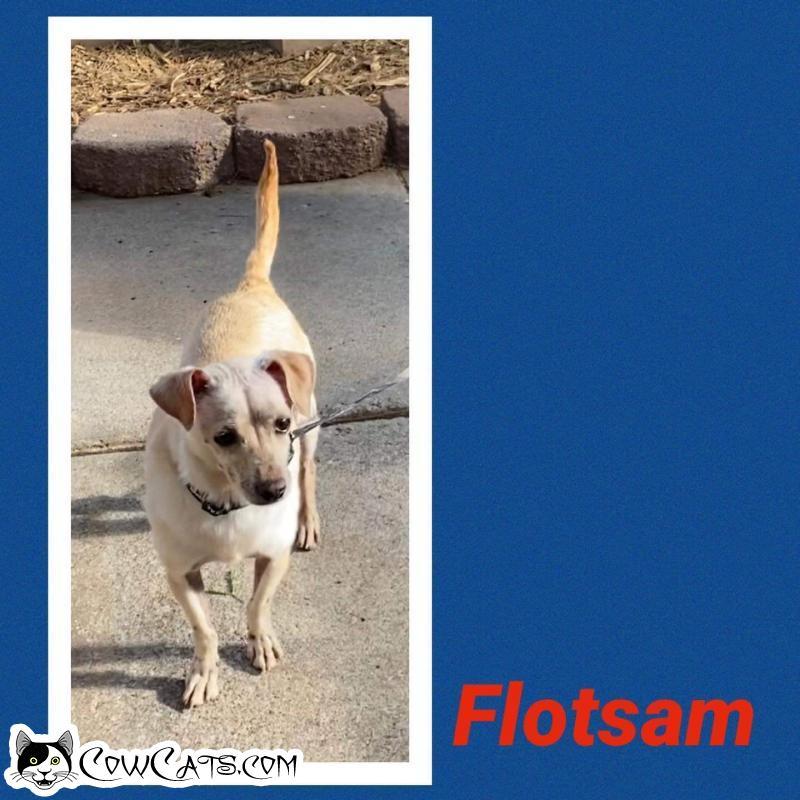 Adopt a Dog - Flotsam from Scottsdale Arizona