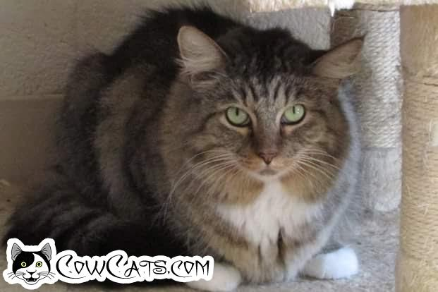 Adopt a Cat - Maddie from Scottsdale Arizona