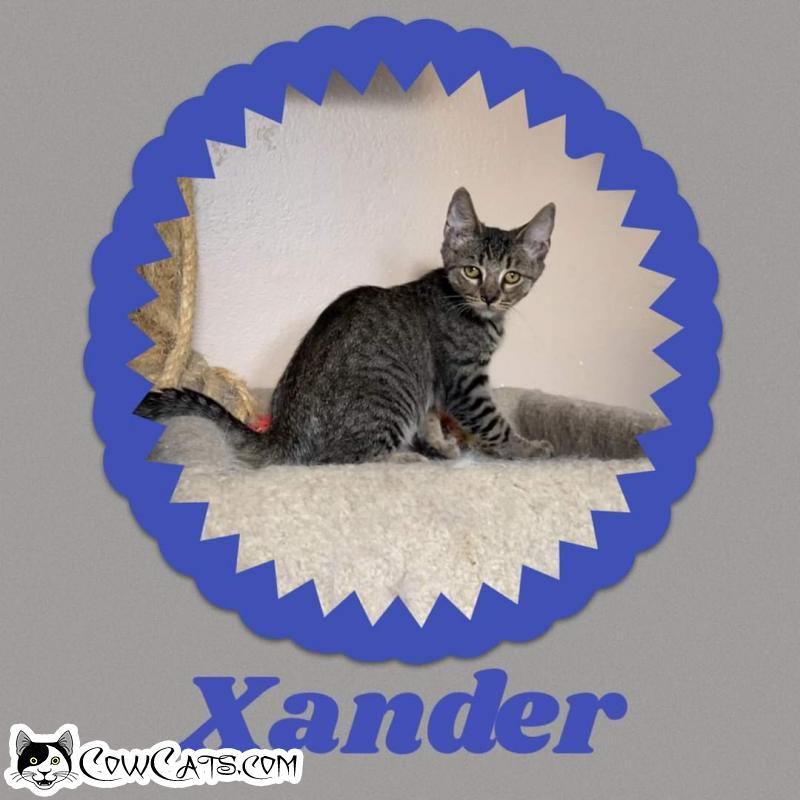 Adopt a Cat - Xander from Scottsdale Arizona