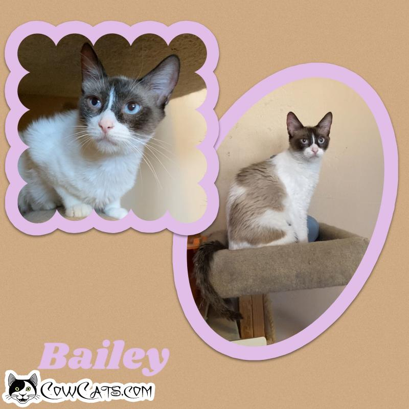 Adopt a Cat - Bailey from Scottsdale Arizona