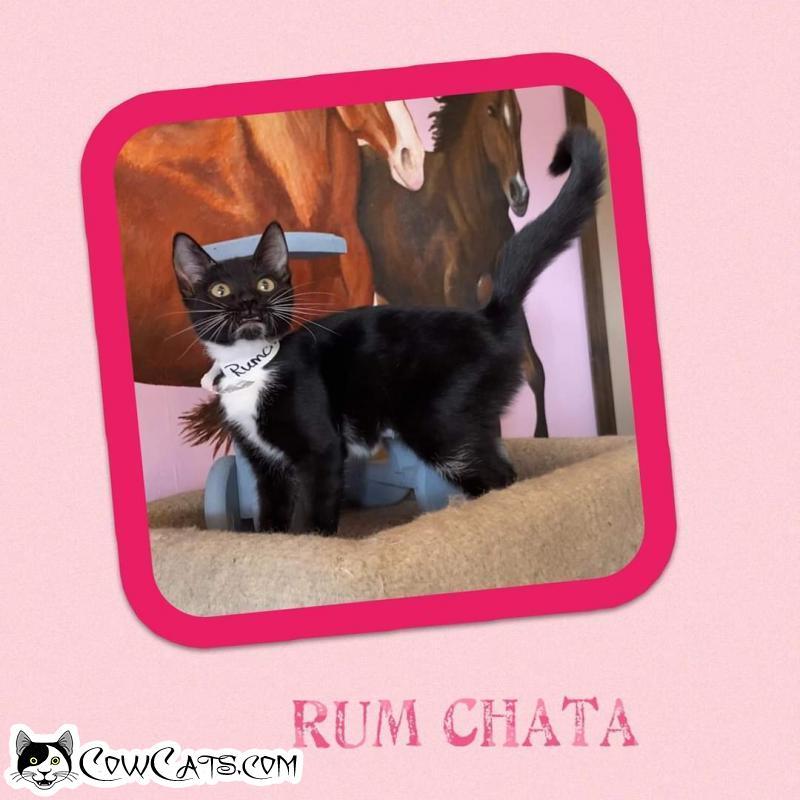 Adopt a Cat - Rum Chata from Scottsdale Arizona