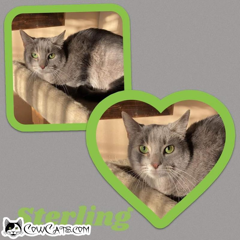 Adopt a Cat - Sterling from Scottsdale Arizona
