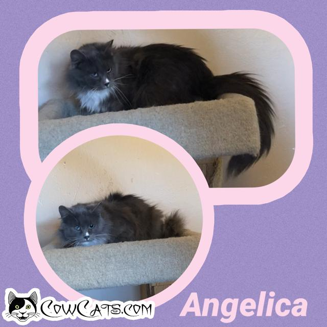 Adopt a Cat - Angelica from Scottsdale Arizona