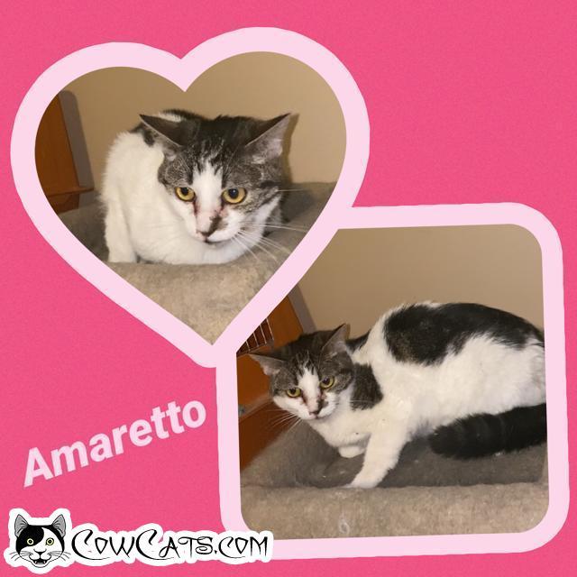 Adopt a Cat - Amaretto from Scottsdale Arizona