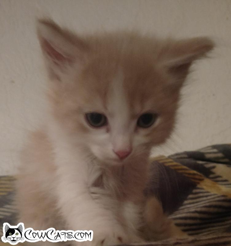 Adopt a Cat - Cream Puff from Peoria Arizona