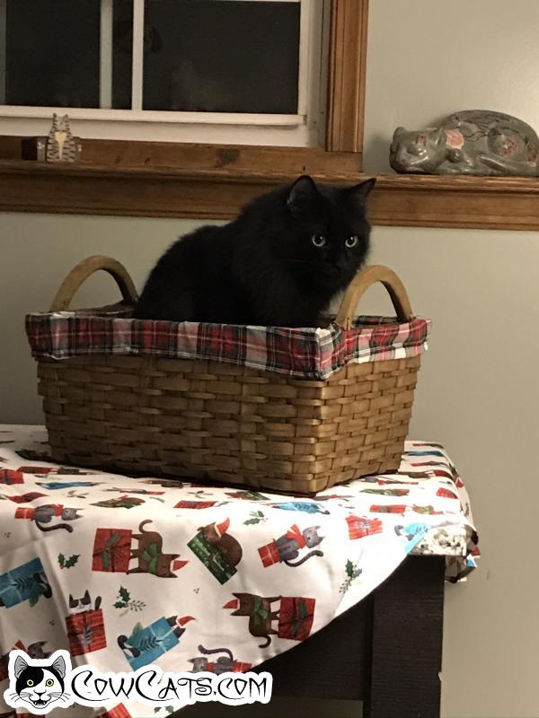 Adopt a Cat - Midnight from Westminster Maryland
