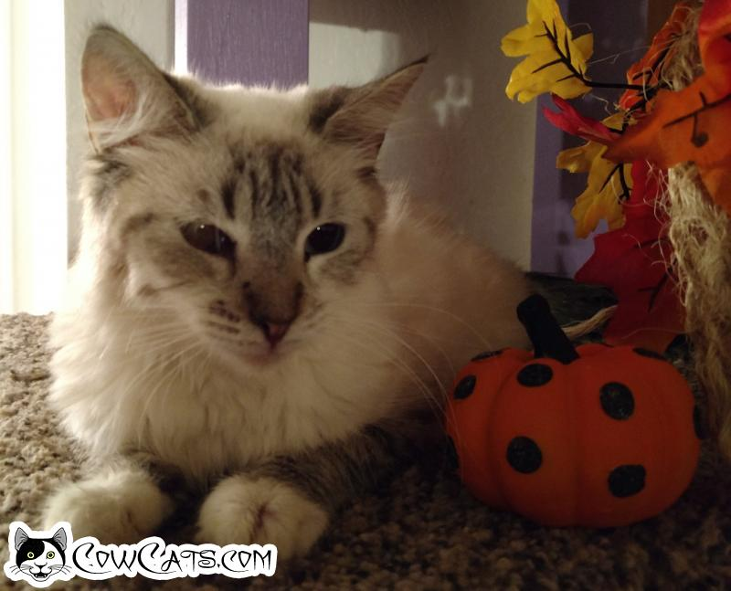 Adopt a Cat - Lilly from Peoria Arizona