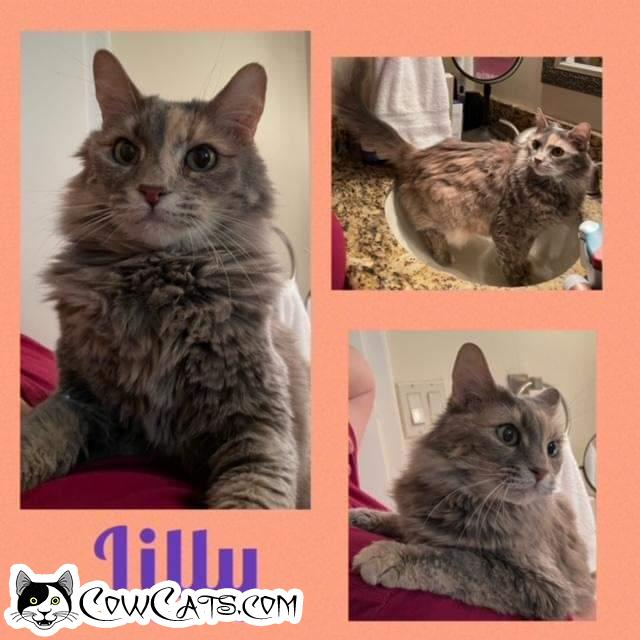 Adopt a Cat - Lilly from Scottsdale Arizona