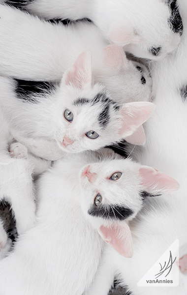 Cow Cat Kittens